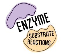 Enzyme Substrate Reactions
